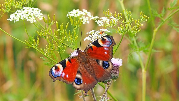 peacock-butterfly-1526939__340